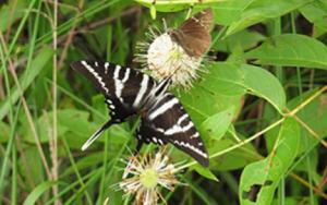 Zebra Swallowtails butterfly