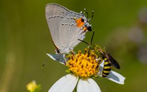 Gray Hairstreaks butterfly