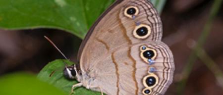 Little Wood-Satyrs butterfly