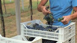 הענבים מוכנים לתהליך הכמישה