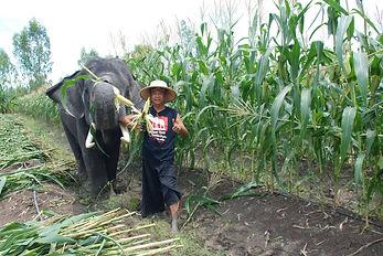 Elephant enjoying the harvest with Mahout. Elephant Encounters.
