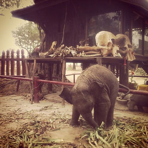 Elephant calf in front of Spirit House. Elephant Encounters.