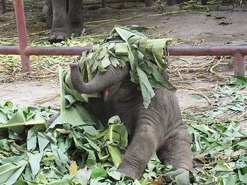 Baby elephant playing. Elephant Encounters.