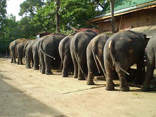 Elephants eating. Elephant Encounters.