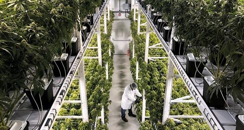 Historic Marijuana Legislation Condemned to Legislative Moratorium Yet Again