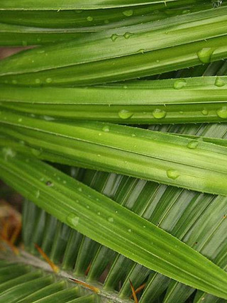 Rattan plant