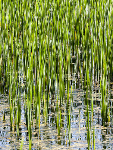 bigstock-Green-Sedge-Growing-In-Muddy--2