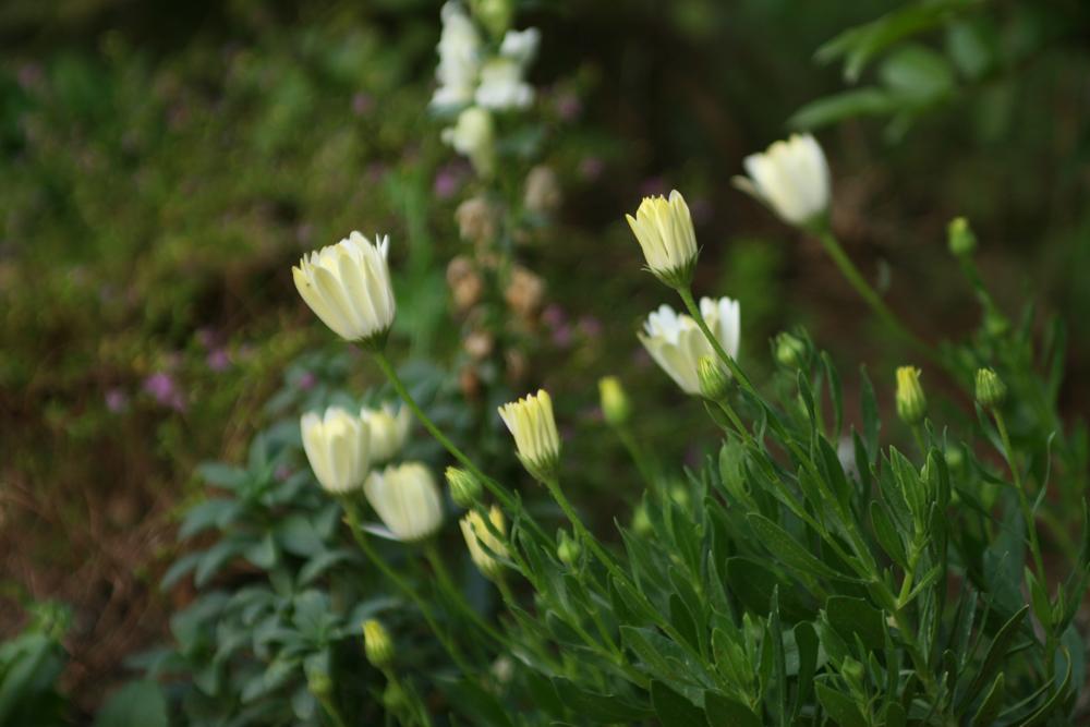 Gänseblümchen Knospen