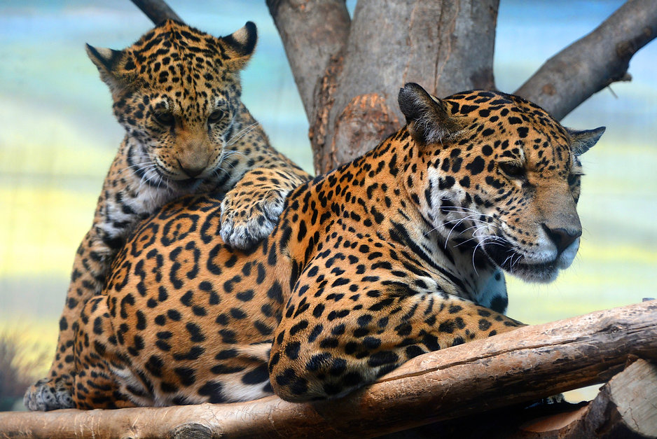 Jaguar cub & mon playing are a feline in