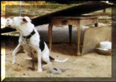 Chained-PitBull-Dog-3_small.jpg