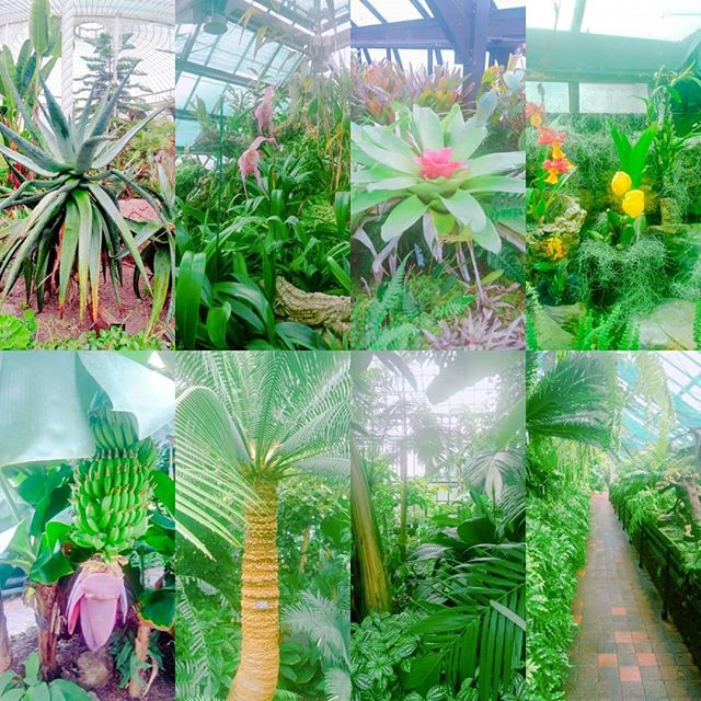 More tropical plants, including BANANAS at the #glasgowbotanicgardens today. ._._