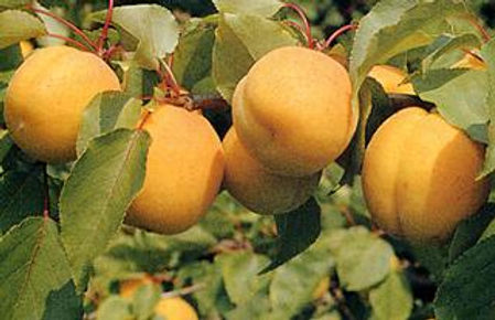 Albicocco cv Reale d'Imola