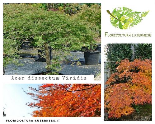 Acer dissectum Viridis