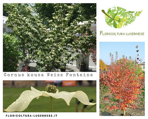 Cornus kousa Weiss Fontaine