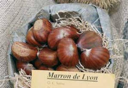 Dorée de Lyon