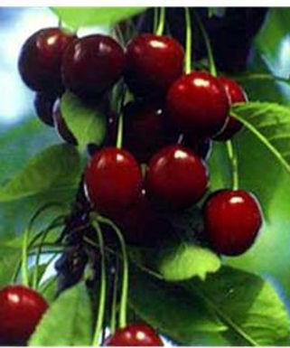 Ciliegio dolce cv Durone