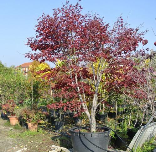 Acer palmatum fire glow acero rosso floricoltura lusernese for Aceri giapponesi
