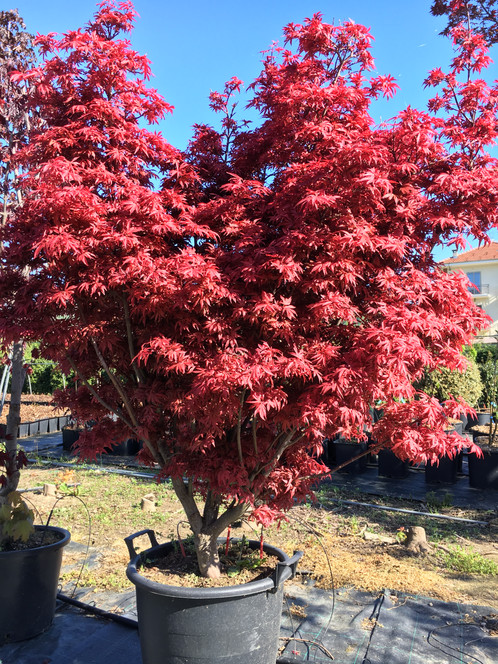 Acer palmatum shaina floricoltura lusernese for Aceri giapponesi