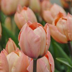 Tulipa 'Salmon Van Eijk'