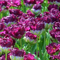 Tulipa 'Wow'