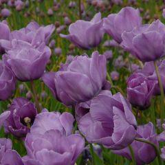 Tulipa 'Bleu Aimable'
