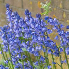 Hyacinthoides Hispanica - blauw
