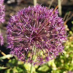 Allium 'Purple Rain'