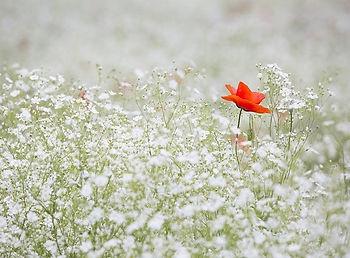 Kostenloses Bild auf Pixabay - Mohn, Gyp