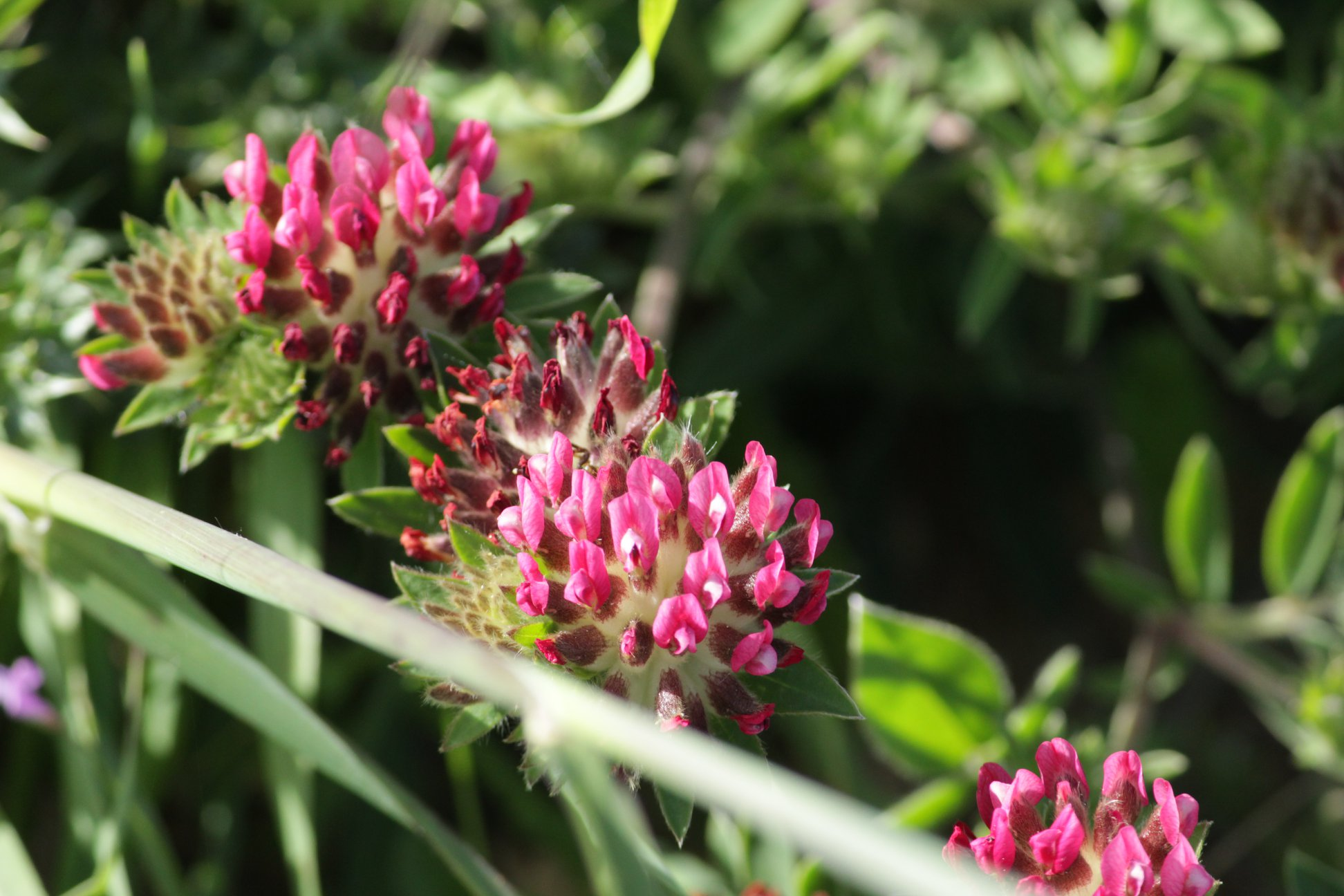 Dorycnium Rectum or Trifolium Hirtum