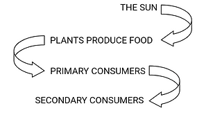Energy flow in a food chain
