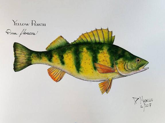 "Yellow Perch, 12"""