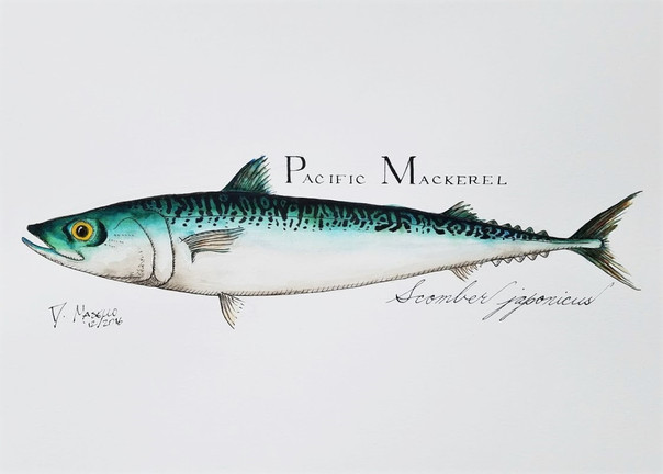 "Pacific Mackarel, 14"""