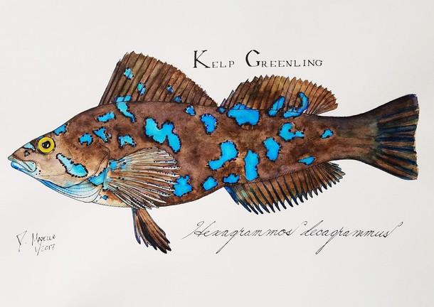 "Kelp Greenling, 14"""