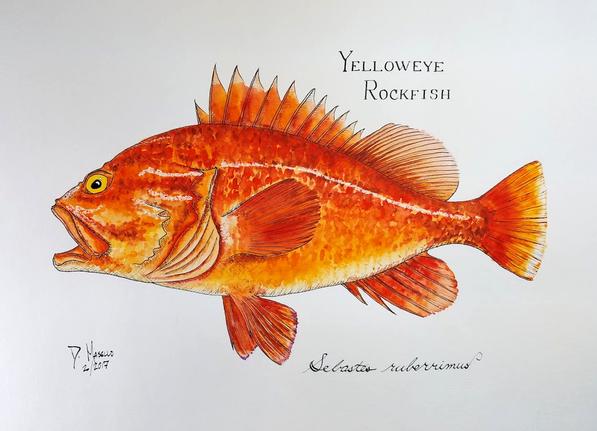 """Yelloweye Rockfish, 14"""""""