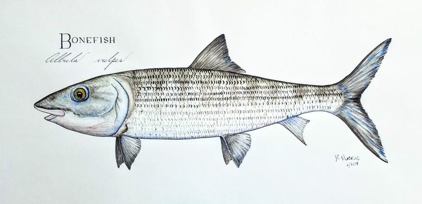 """Bonefish, 22"""""""