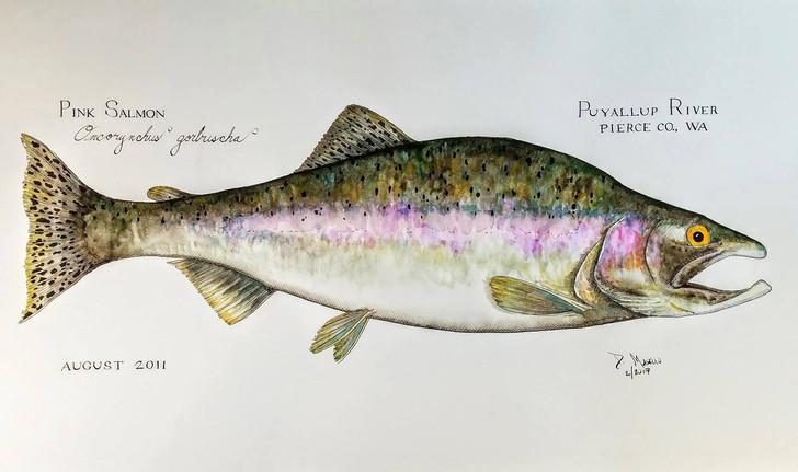 "Pink Salmon, 24"""