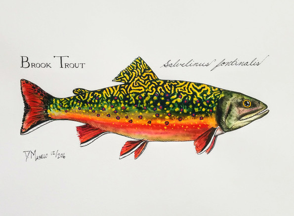 """Brook Trout, 12"""""""