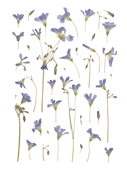 Purple Oxalis Print