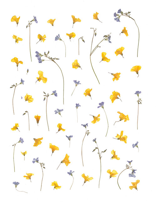Yellow & Purple Oxalis Print