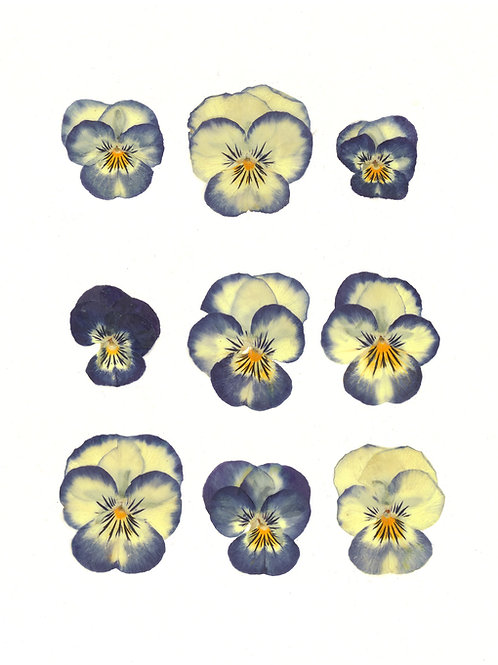 Purple & Yellow Viola Print