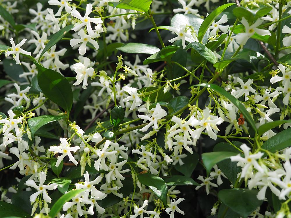 Beautiful fragrant jasmine