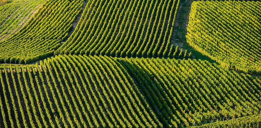 Champagne vineyards in the Cote des Bar