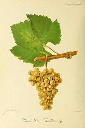 Pinot_blanc_Chardonnay_-_Ampélographie.j
