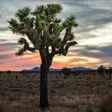 Lone Joshua Tree Sunset