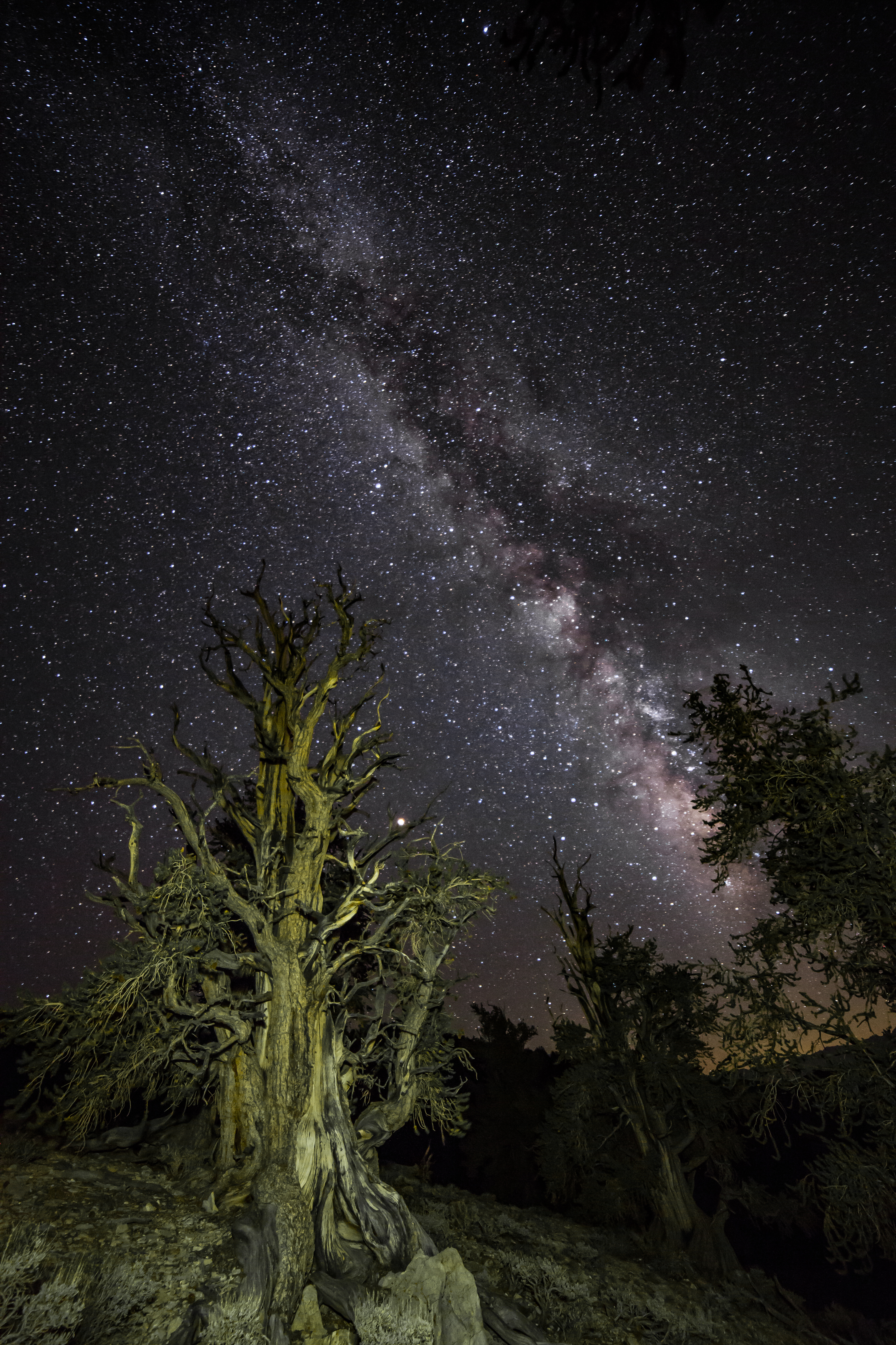 Milkyway, Ancient Bristlecone Pine