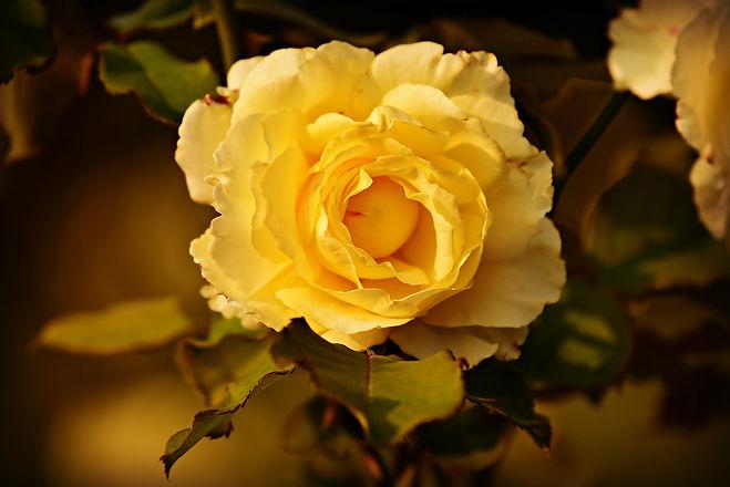 yellow-rose-3984038_1920.jpg