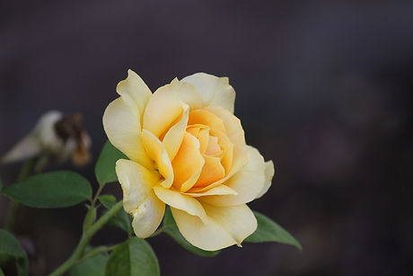 rose-3593112_1920.jpg