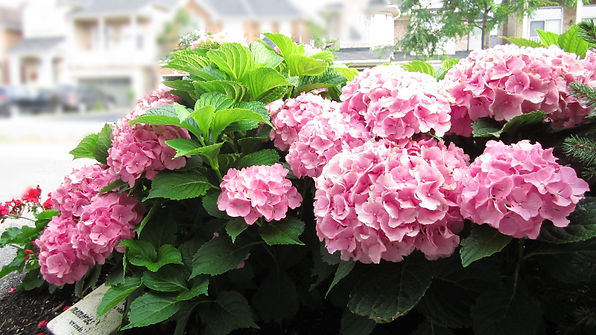 Hydrangeas, Front Yard, Garden Bed, Blooming