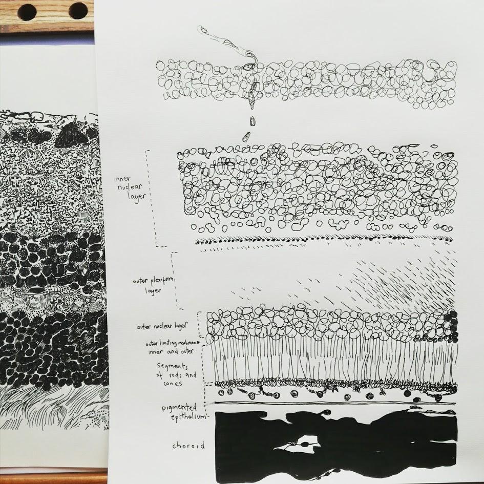 Amy Hutchings - Retinal layers