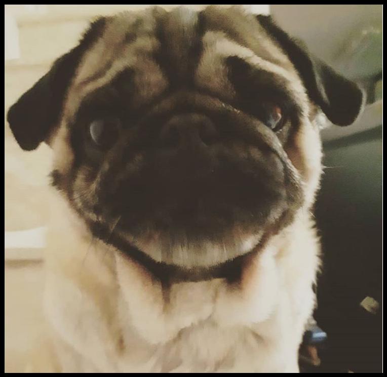 Lola, uma cachorrinha pug, olhando para a câmera.